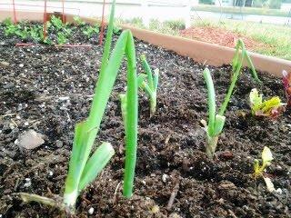 green onions 008