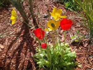 After only a couple of days, the poppies were back! And they left us seed pods!