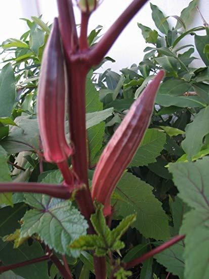 burgundy okra on plant
