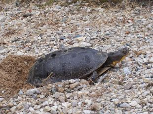 800px-Blanding's_Turtle_Laying_Eggs