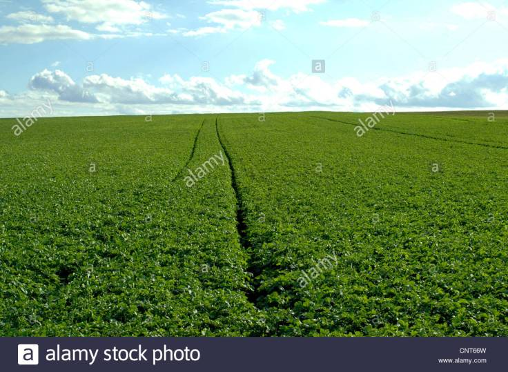 charlock-field-mustard-corn-mustard-sinapis-arvensis-tractor-tracks-CNT66W