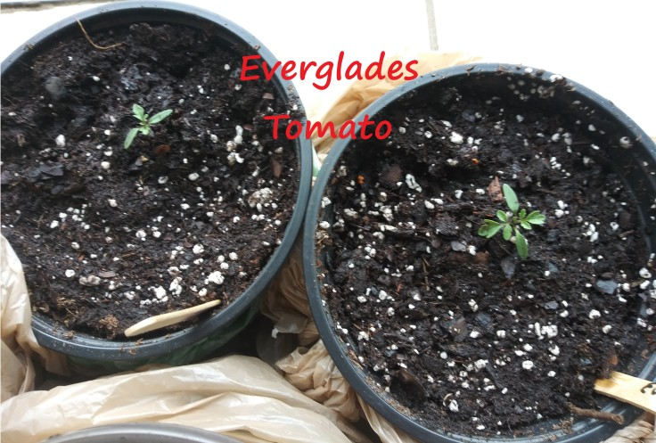 everglades tomato june 29