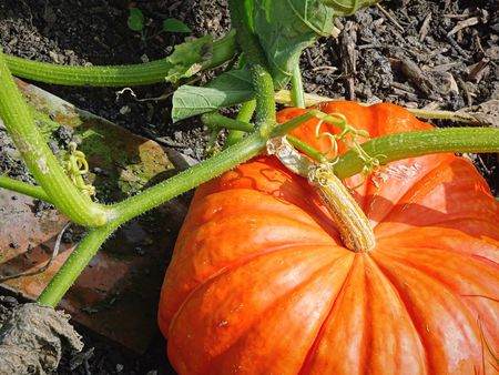 high-angle-view-of-pumpkin-growing-on-field-589217211-57c845bc3df78c71b60e56ad
