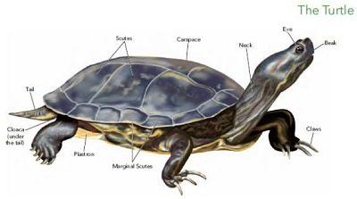 turtle-1_opt