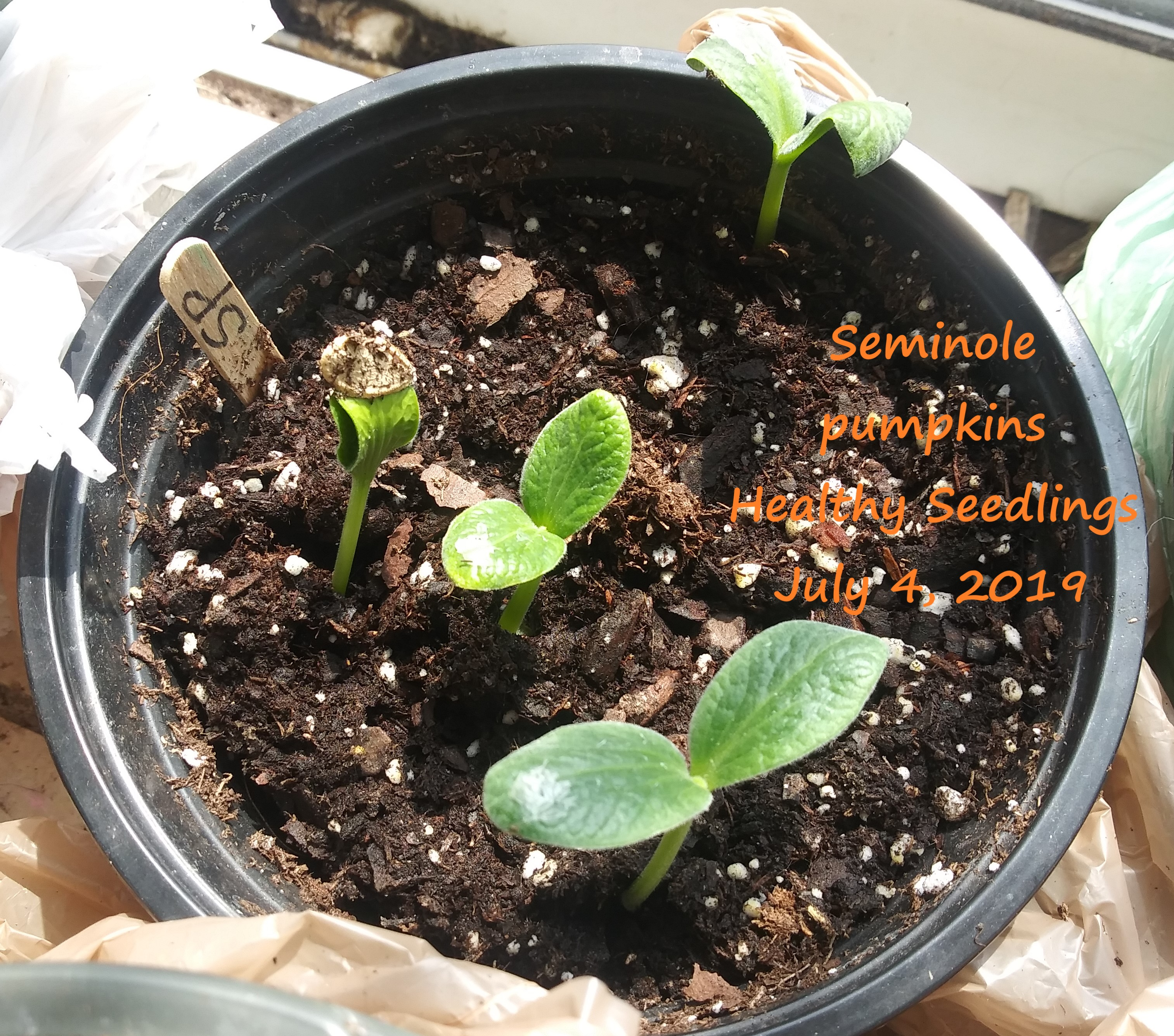 Seminole pumpkin July 4
